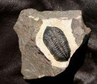 Pseudocryphaeus sp.
