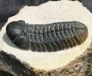 Boeckops stelcki Chatterton et al 2009