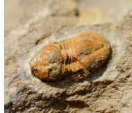 Cephalopyge notabilis GEYER 1993
