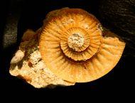 Choffatia isabellae BONNOT et al 2008