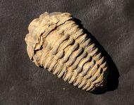 Colpocoryphe grandis (SNAJDR, 1956)