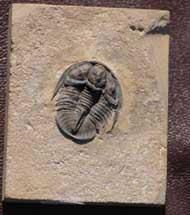 Genevievella granulatus (S. Peters unpub.)