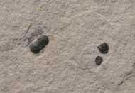Peronopsis sp.
