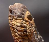 Eodalmanitina  macrophthalma (Brongniart, 1822)