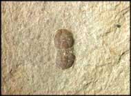 Ptychagnostus cuyanus