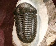 Phacops araw Chatterton et al 2009