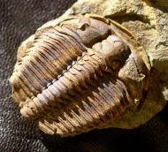 Ptychoparia milena (Kordule, 2006)
