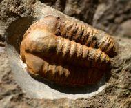 "Ellipsocephalus ""vetustus"" (POMPECKJ)"