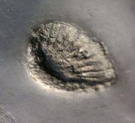 Zaphrentis sp. (Coral)