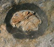 Zeliszkella (Zeliszkella) torrubiae. (VERNEUIL & BARRANDE 1855)
