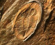 Nobilasaphus nobilis BARRANDE 1846