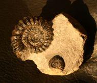 Oistoceras sp.