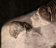 Gerastos cuvieri (STEININGER, 1831)  & Septalaria struvei  SCHMI