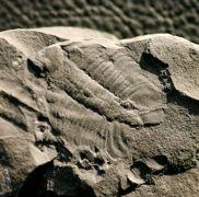 Homalopteon murchisoni (Hughes 1979)