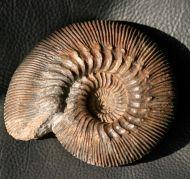 Kepplerites gowerianus (Sowerby 1827)