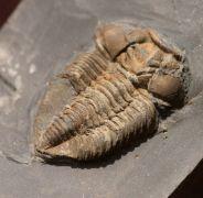Prionocheilus mendax (Vanĕk 1925)