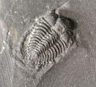 Dindymene didymograpti (Whittard 1960)