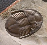 Isoteloides flexus HINTZE