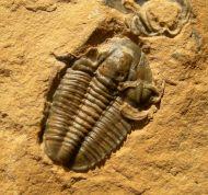 Modocia weeksensis Shanan Peters 2003