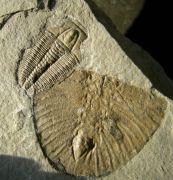 Modocia laevinucha & P. interstricta & Bathyuriscus fimbriatus
