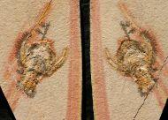 Cycleryon propinquus (Schlotheim, 1822)
