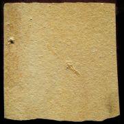 Mirmicium schroeteri GERMAR, 1839