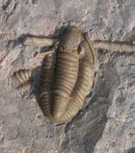 Breviphillipsia sampsoni (Vogdes, 1888)