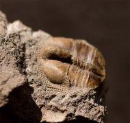 Telaeomarrolithus radiatus (MURCHISON, 1839)