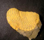 Parahomanolotus sp.