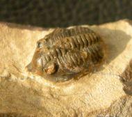 Pseudocryphaeus quaterspinosus MORZADEC, 2001