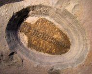 Bathyuriscus fimbriatus Robison, 1964