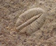 Arthricocephalus laterilobatus Ju, 1983