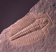 Modocia laevinucha Robison, 1964