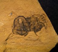 Cedaria minor (WALCOTT, 1916)  & Lingulella sp.