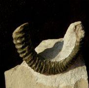 Allocrioceras woodsi (SPATH 1939)