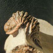 Crotalocephalina cf maurus (G. Alberti, 1966)