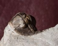 Cornuproetus cornutus GOLDFUSS
