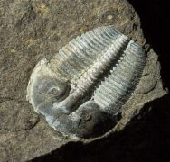 Aulacopleura konincki (BARRANDE, 1846)