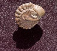 Kainops invius  Campbell 1977