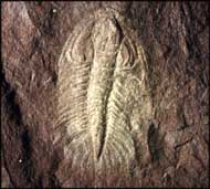Paradoxides pradoanus