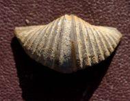 Mucrospirifer diluvianus (STEININGER, 1871 )
