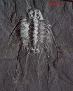 Selenopeltis inermis (Beyrich, 1846)