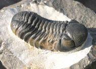 Phacops cf. sparsidosus STRUVE 1970