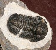 Gerastos cf tuberculatus (BARRANDE 1846)