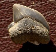 Squalicorax kaupi (Agassiz 1843)