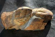 Ectillaenus giganteus (BURMEISTER, 1843)