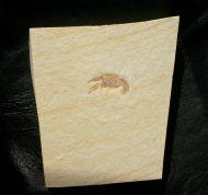 Palaeastacus fuciformis (SCHLOTHEIM )