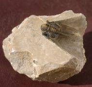 Cyphaspis agayuara CHATTERTON et al., 2006