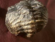 Drotops megalomanicus Struve, 1990