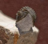 Destombesina tafilaltensis MORZADEC, 2001